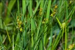 Photo 5/5 Carex echinata Murray