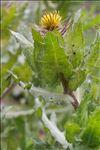 Photo 2/7 Centaurea benedicta (L.) L.