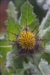 Photo 1/7 Centaurea benedicta (L.) L.
