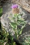 Centaurea pectinata subsp. supina (Jord.) Braun-Blanq.