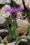 Photo 4/7 Centaurea uniflora Turra