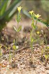 Centaurium maritimum (L.) Fritsch