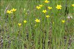 Photo 1/5 Centaurium maritimum (L.) Fritsch