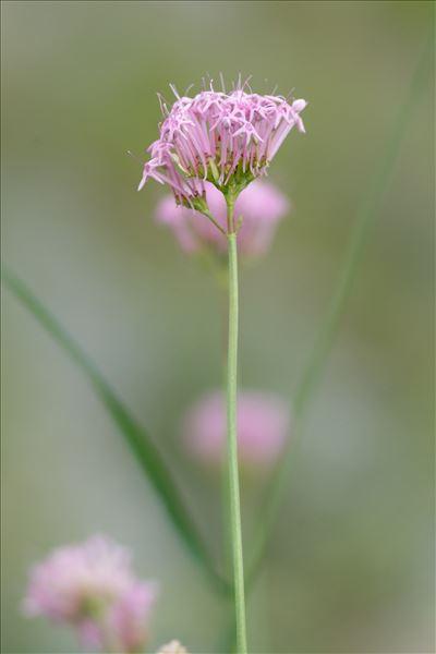Centranthus angustifolius (Mill.) DC.