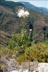 Cephalaria leucantha (L.) Schrad. ex Roem. & Schult.