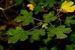 Photo 2/2 Acer campestre L.