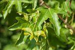 Acer campestre L.