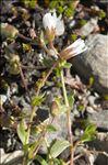 Photo 5/5 Cerastium cerastoides (L.) Britton