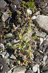 Photo 4/5 Cerastium cerastoides (L.) Britton