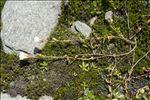 Photo 3/5 Cerastium cerastoides (L.) Britton