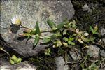Photo 2/5 Cerastium cerastoides (L.) Britton