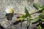 Cerastium cerastoides (L.) Britton