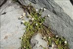 Photo 1/5 Cerastium cerastoides (L.) Britton