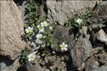 Photo 2/5 Cerastium latifolium L.