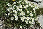 Photo 1/5 Cerastium latifolium L.