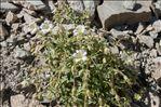 Photo 5/5 Cerastium latifolium L.