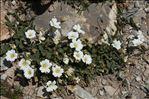 Photo 4/5 Cerastium latifolium L.