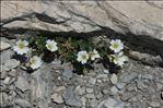 Photo 3/5 Cerastium latifolium L.