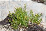 Photo 1/3 Carex flava L.