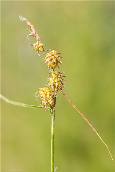 Carex flava L.