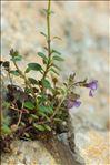 Photo 2/2 Chaenorrhinum origanifolium (L.) Kostel.
