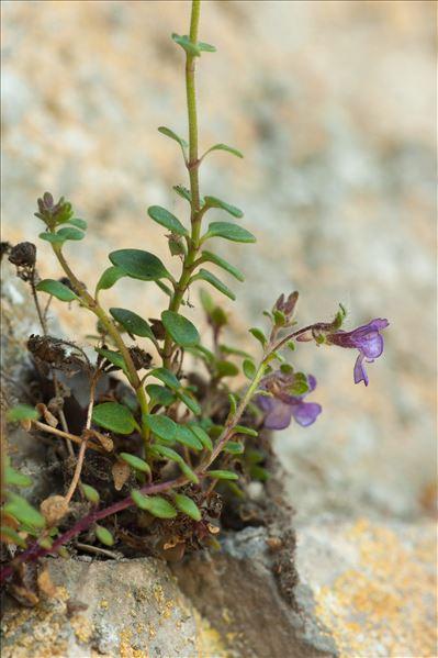 Chaenorrhinum origanifolium (L.) Kostel. subsp. origanifolium
