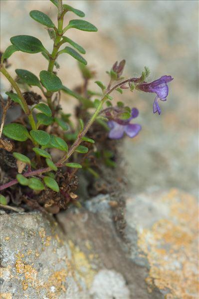 Chaenorrhinum origanifolium (L.) Kostel.