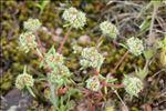 Chaetonychia cymosa (L.) Sweet