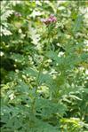 Photo 5/5 Cirsium alsophilum (Pollini) Soldano