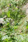 Photo 3/5 Cirsium alsophilum (Pollini) Soldano