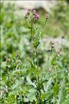 Photo 2/5 Cirsium alsophilum (Pollini) Soldano