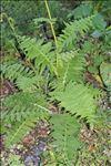 Cirsium erisithales (Jacq.) Scop.