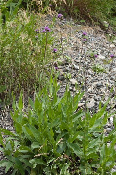 Cirsium monspessulanum (L.) Hill