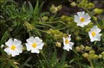 Photo 1/6 Cistus monspeliensis L.