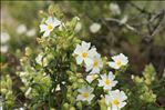 Photo 4/6 Cistus monspeliensis L.