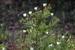 Photo 4/4 Cistus monspeliensis L.