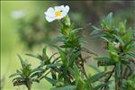 Photo 5/6 Cistus monspeliensis L.