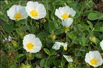 Photo 7/7 Cistus salviifolius L.