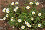 Photo 6/7 Cistus salviifolius L.