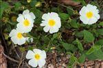 Photo 4/7 Cistus salviifolius L.