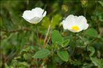 Photo 3/7 Cistus salviifolius L.