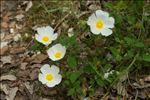 Photo 2/7 Cistus salviifolius L.