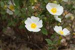 Photo 1/7 Cistus salviifolius L.