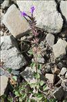 Photo 4/6 Clinopodium alpinum (L.) Kuntze