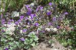 Clinopodium alpinum (L.) Kuntze