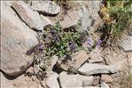 Photo 6/6 Clinopodium alpinum (L.) Kuntze