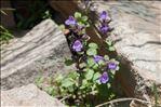 Clinopodium alpinum subsp. meridionale (Nyman) Govaerts