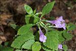 Clinopodium grandiflorum (L.) Kuntze