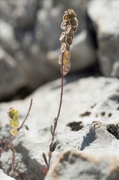 Clypeola jonthlaspi L.