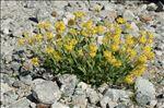 Coincya richeri (Vill.) Greuter & Burdet